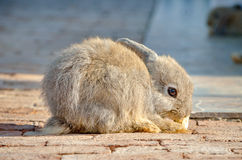 The domestic rabbit on animal farm Royalty Free Stock Images