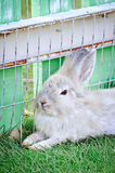 The domestic rabbit on animal farm Royalty Free Stock Photo