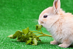 Domestic rabbit eating Royalty Free Stock Photo