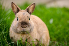 Domestic rabbit. In grass, easter holiday symbol Royalty Free Stock Images