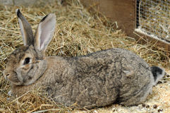 Domestic Rabbit Stock Photography