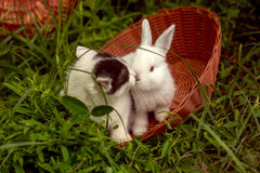 Domestic rabbit and kitten. Domestic rabbit bunny with white soft fur and little cute spotty kitten pets sitting in wicker bowl on natural green grass background Stock Image