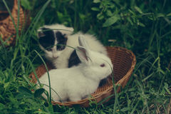 Domestic rabbit and kitten. Domestic rabbit bunny with white soft fur and little cute spotty kitten pets sitting in wicker bowl on natural green grass background Royalty Free Stock Photos