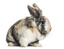 Domestic rabbit sitting, isolated. On white Royalty Free Stock Photography