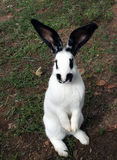 A domestic rabbit standing Royalty Free Stock Image