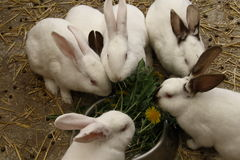 Domestic rabbits black and white. Eating grass Stock Photos