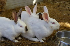 Domestic rabbits black and white. White rabbits and black / white in the enclosure Royalty Free Stock Photography