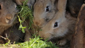 Domestic rabbits in a cage. Family gray rabbits eat grass, leaves and corn. Bunny sniffing. Domestic farming. In the stock video