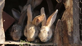 Domestic rabbits in a cage. Family gray rabbits eat grass, leaves and corn. Bunny sniffing. Domestic farming. stock video footage