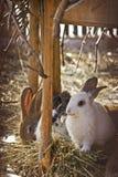 Domestic rabbits on hay Stock Photo