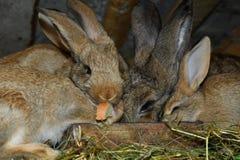 Domestic rabbits Stock Photography