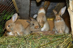 Domestic rabbits Stock Images