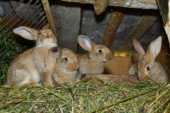 Domestic rabbits Royalty Free Stock Images
