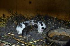 Domestic rabbits Stock Image