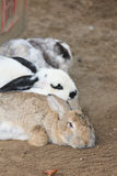 Domestic rabbits    (Oryctolagus cuniculus forma domestica) Stock Photos