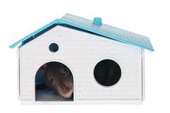 Domestic rat Royalty Free Stock Images