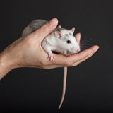 Domestic rat Stock Photography