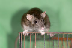 Domestic rat Stock Image