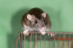 Domestic rat Stock Image