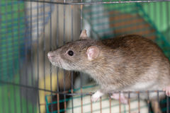 Domestic rat Royalty Free Stock Photography