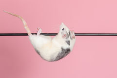 Domestic rat acrobat Stock Photos