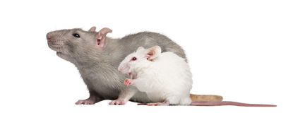 Domestic rat and albino white mouse stock photos