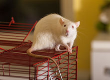 Domestic rat on a cage Stock Photography