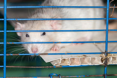 Domestic rat Royalty Free Stock Photos