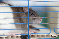 Domestic rat in a cage Royalty Free Stock Photos