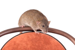 Domestic rat on a chair Royalty Free Stock Photography