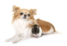 Domestic rat and chihuahua Royalty Free Stock Photography