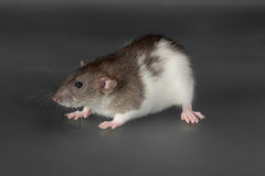 Domestic rat close up Royalty Free Stock Images