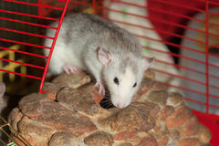 Domestic rat closeup Stock Photography