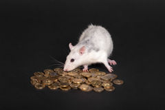 Domestic rat with coins Stock Photo