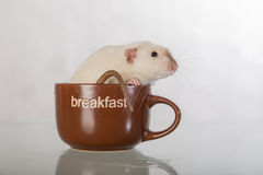 Domestic rat in cup Stock Photo