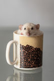 Domestic rat in a cup Royalty Free Stock Photos