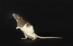 Domestic rat Stock Photography