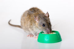 The domestic rat eats yoghurt Stock Photos