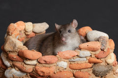 Domestic rat in fortress Stock Photos