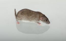 Domestic rat and its reflection Stock Images