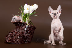 Domestic rat and kitten sphinx near crocus Royalty Free Stock Image
