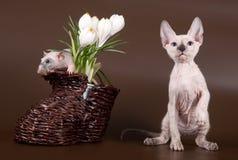 Domestic rat and kitten sphinx near crocus Royalty Free Stock Image