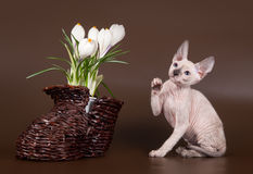 Domestic rat and kitten sphinx near crocus Royalty Free Stock Images