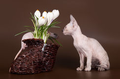 Domestic rat and kitten sphinx near crocus Stock Photography