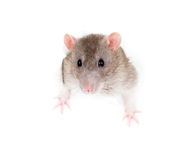 Domestic rat leaning out of paper torn hole Royalty Free Stock Photography