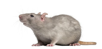Domestic rat, looking away Stock Images