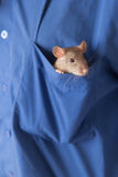 Domestic rat in a pocket Stock Images