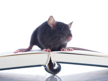 Domestic rat sitting Stock Images