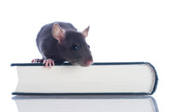 Domestic rat sitting Royalty Free Stock Images
