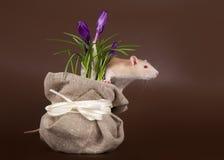 Domestic rat sniffs spring crocuses Stock Photo